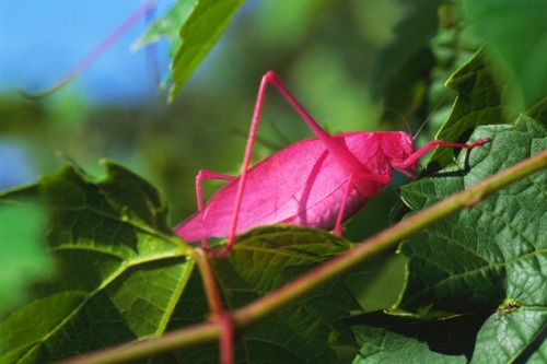 Really-Pink-Katydid_thumb2