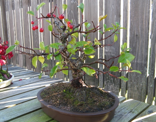 crabapplebonsai
