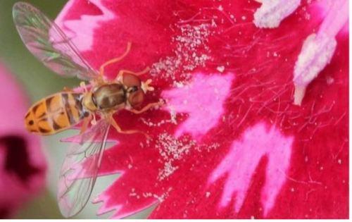toxomerus marginatus