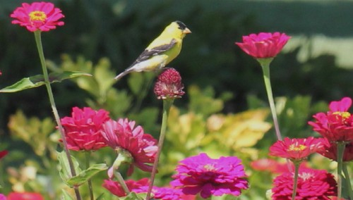 Finch on Zinnia